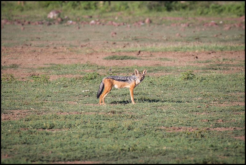 Black backed jackal, Lake Manyara NP