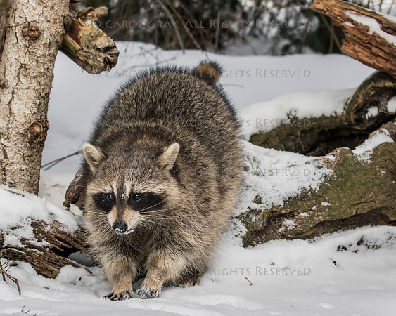 Raccoons in the Snow Gallery