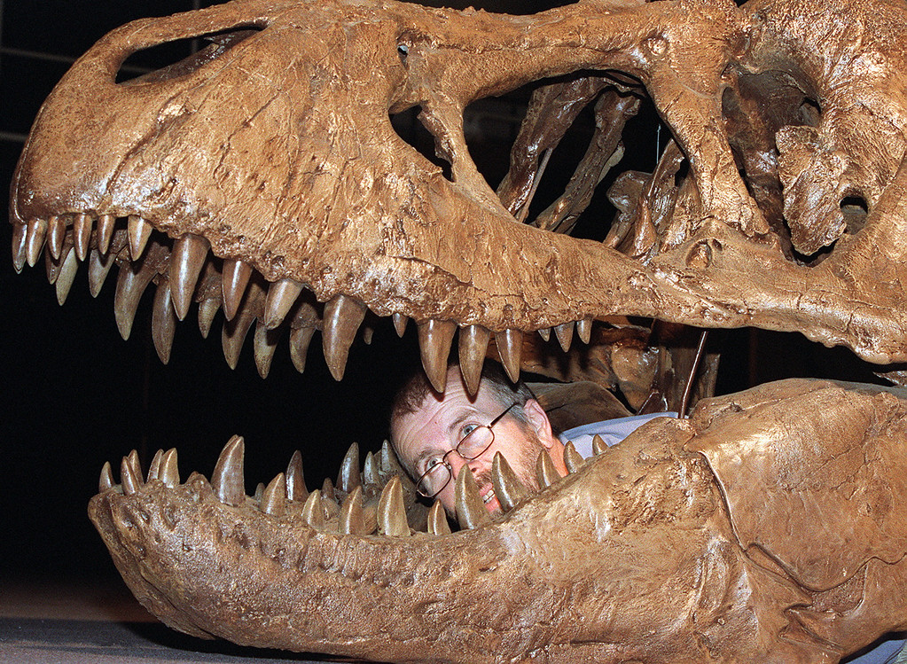 """. SYDNEY, AUSTRALIA:  Palaeontologist Robert Jones examines the jaw of a nine-metre Tyrannosaurus-rex at the Australian Museum in Sydney 08 October which will feature in \""""Terrorsaurus.\""""  The exhibition, which runs from 31 October 1998 to 25 April 1999, will have 13 interactive dinosaurs which move, make sounds and are situated in life-like environments.   (TORSTEN BLACKWOOD/AFP/Getty Images)"""
