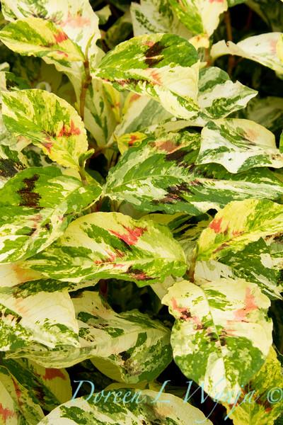 Persicaria virginiana Painter's palette_008.jpg