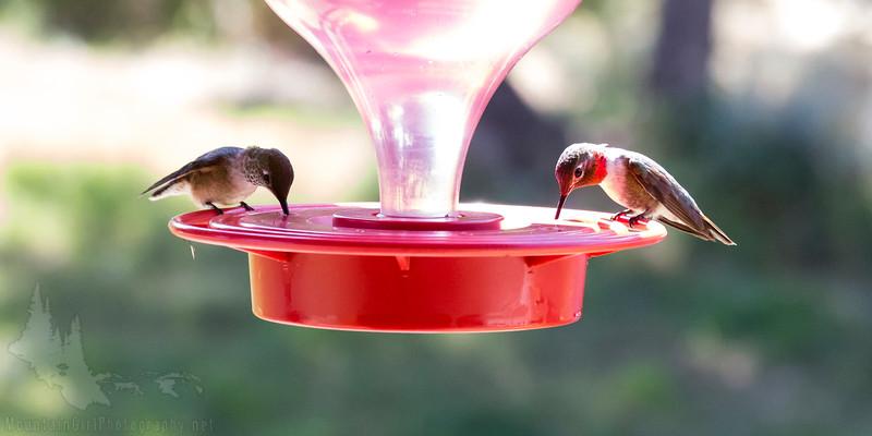 Hummingbirds-5681.JPG