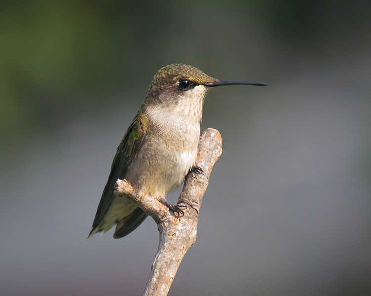 sx50_hummingbird_boas_115.jpg