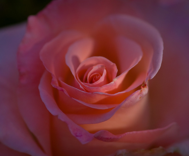 Rose Petals-1.jpg