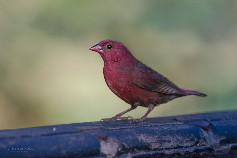 Red-billed Firefinch, Caprivi, Namibia, Jul 2011.jpg