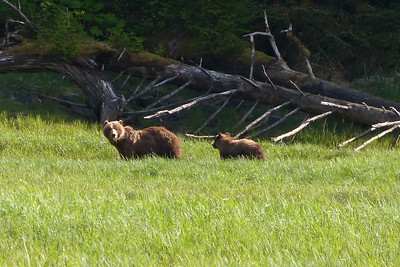 Brown Bear in Saltery Bay - Mother and Cub June 2014, Cynthia Meyer, Chichagof Island, Alaska