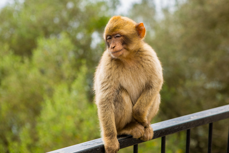 Monkey on Rock of Gibraltar