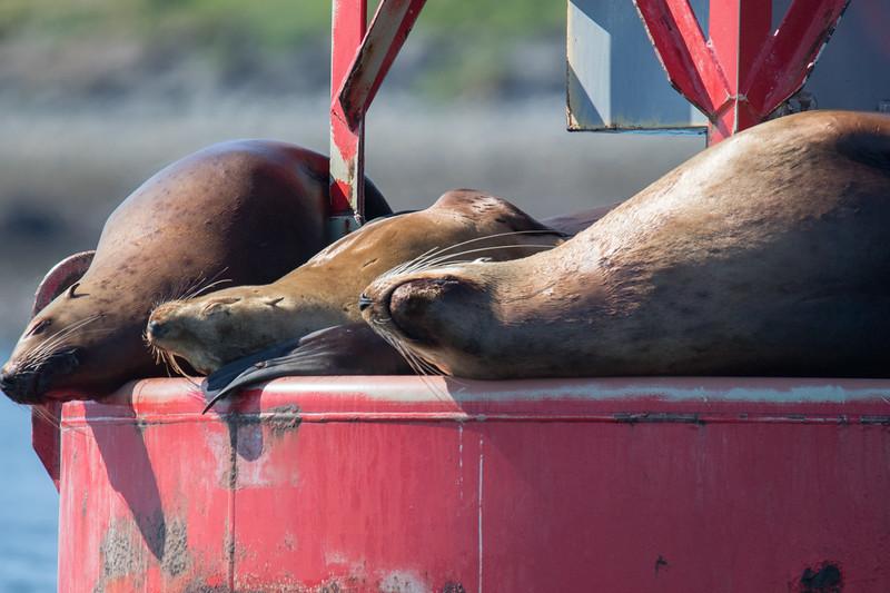Sea Lions Petersberg Alaska-1.jpg