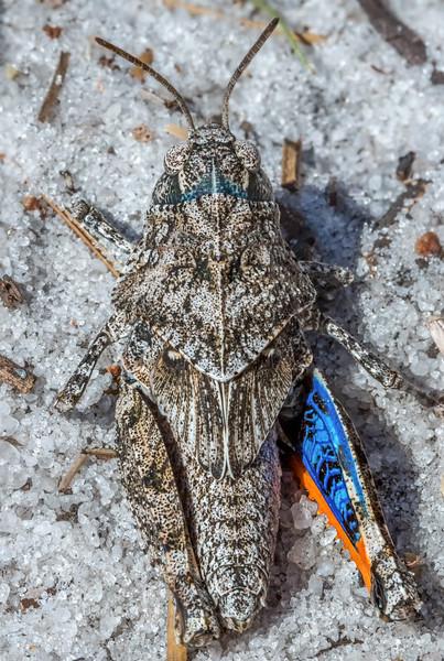 Orange-winged grasshopper nymph