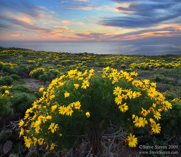 Santa_Monica_Mountains_Malibu_Coreopsis_crop.jpg