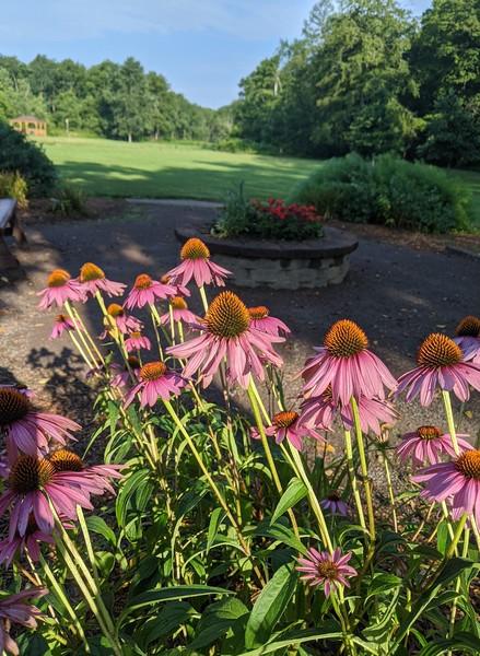 Purple Coneflowers at Old Smicksburg