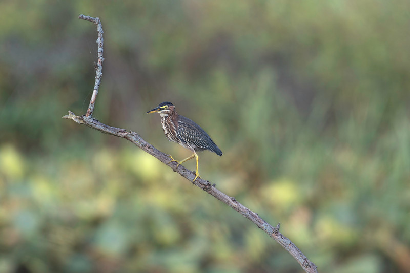 Green Heron Perched Kilbuck 2.jpg