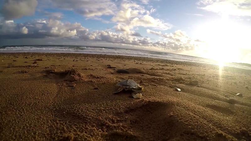 Turtle hatchling - 1080 res - Mark Fitz.mov