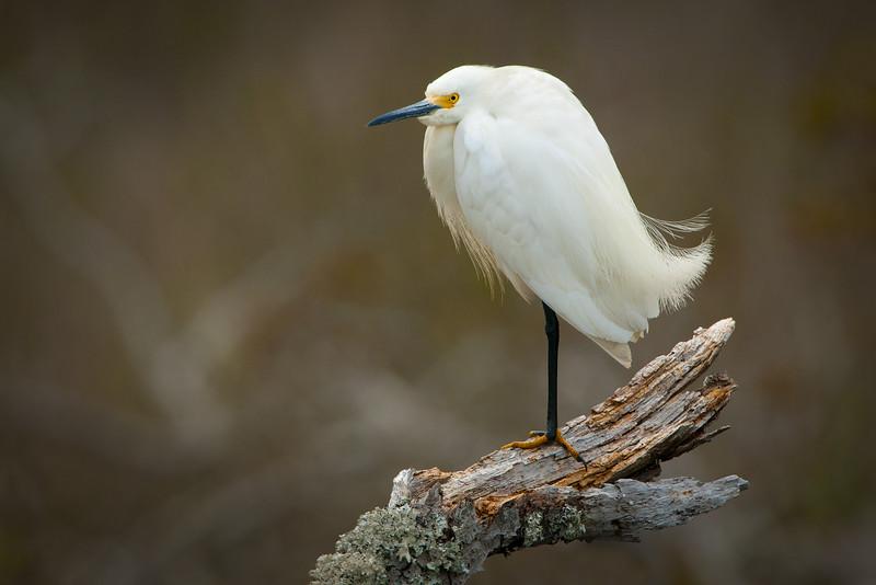 Snowy Egret Perched in Dead Tree Two.jpg