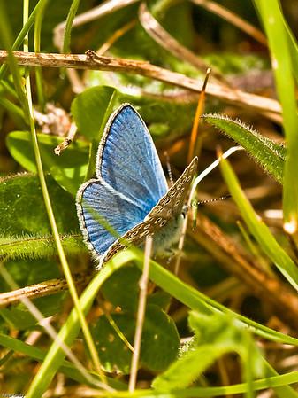 Adonis Blue (Lysandra bellargus)