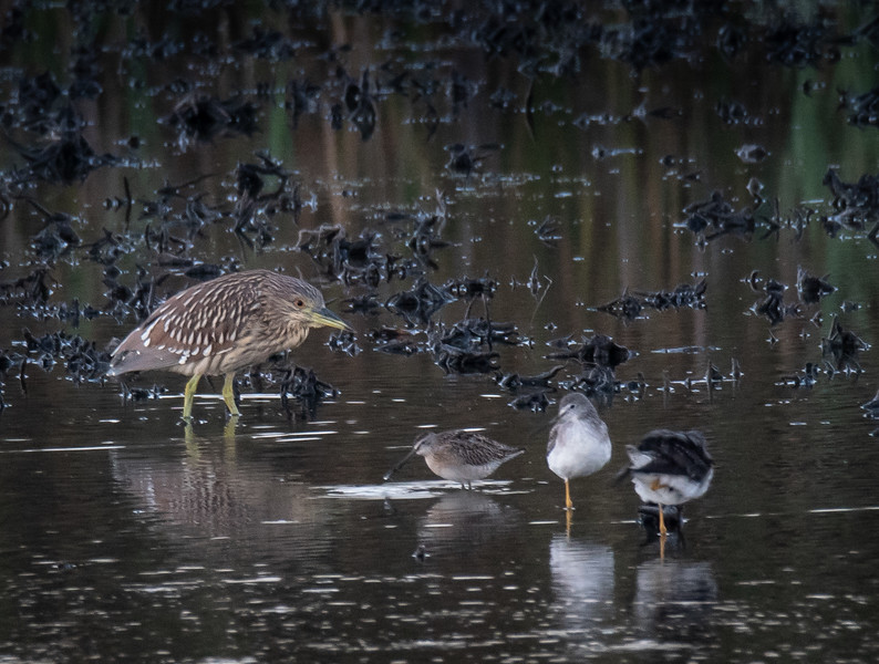 Black-crowned Night-Heron juvenile (with misc other birds)