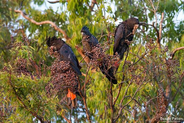 Cockatoos and Corellas
