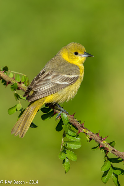 Female Orchard Oriole.jpg