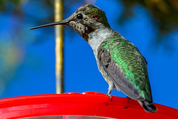 10 2013 Oct 11 Anna's Hummingbird*^