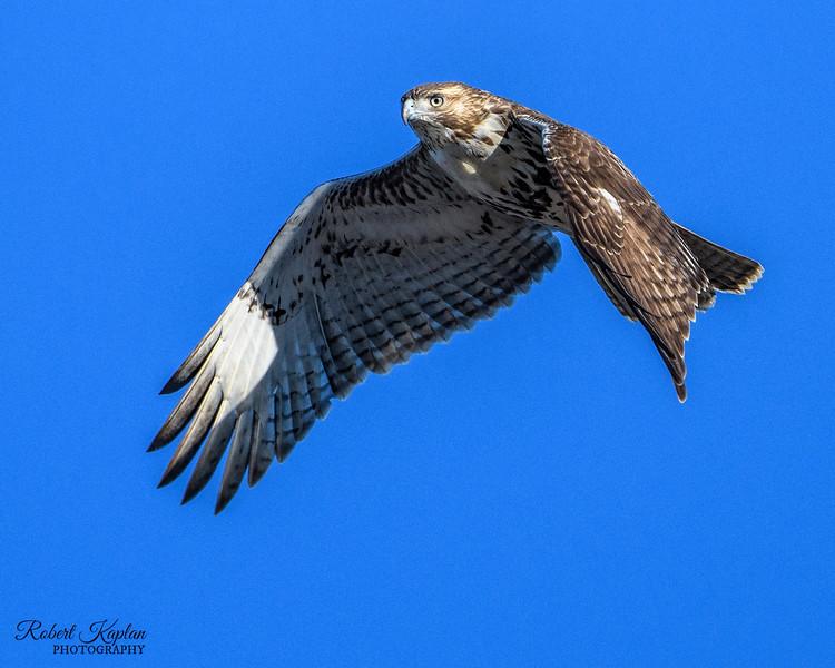 Red Tail Hawk-9976.jpg