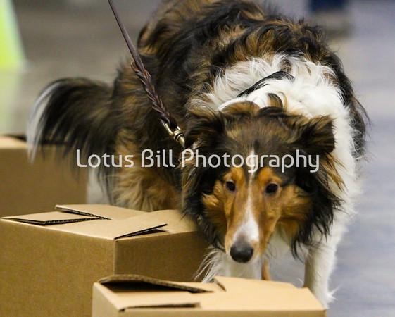 Shetland Sheepdog 1 OH