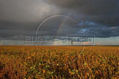 Soy Harvest