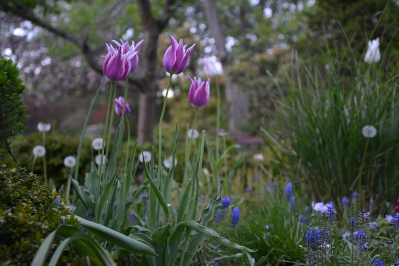 Sayen Tulips.jpg