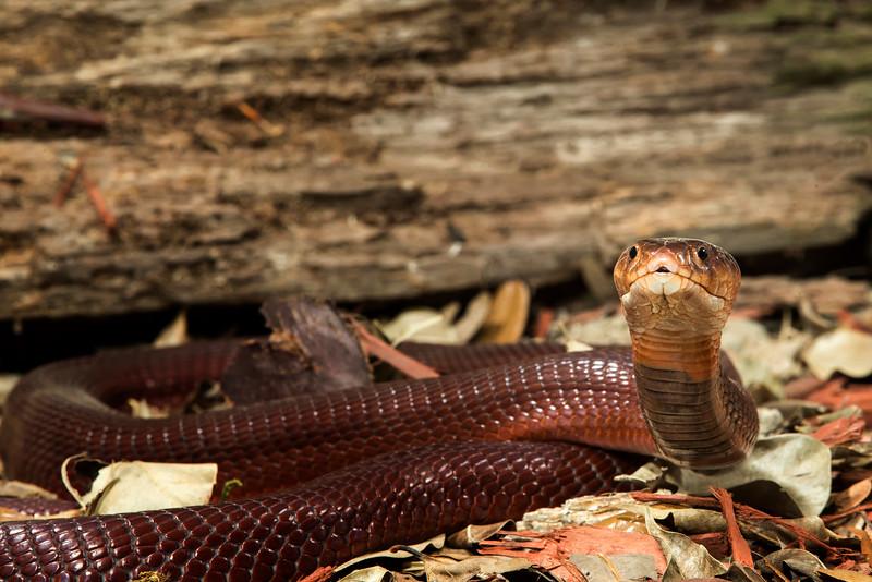 Red Spitting Cobra,   Naja pallida