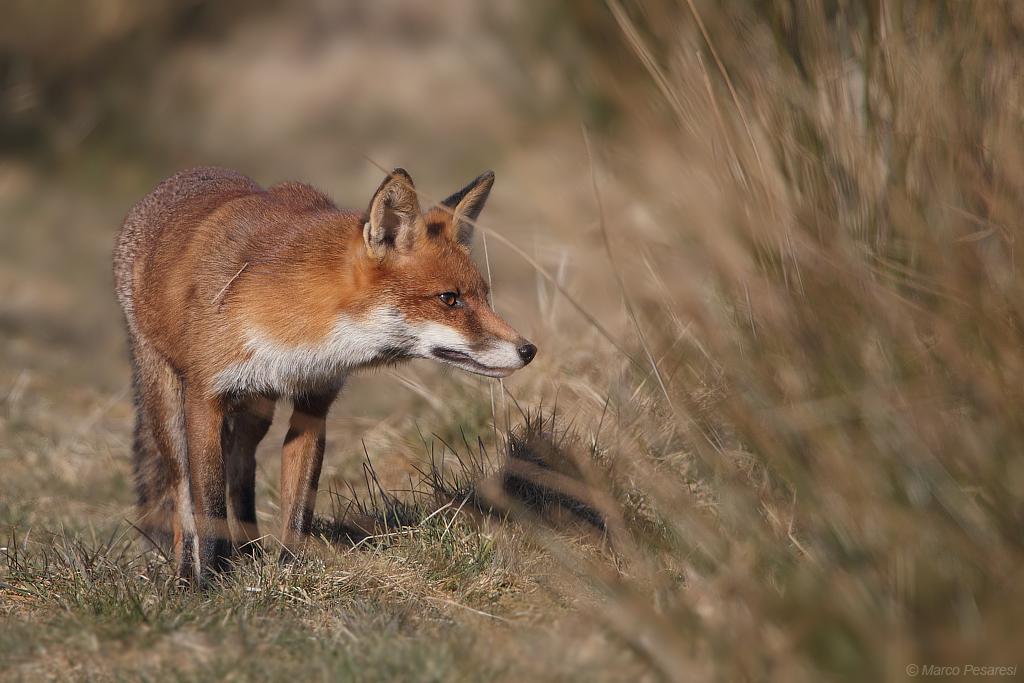 10. Red Fox