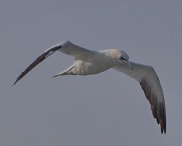Albatross, Loons,Pelicans, Cormorants, Gannets