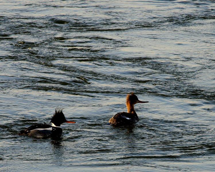 duck couple 2.jpg