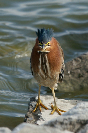 Green Heron Gallery 2