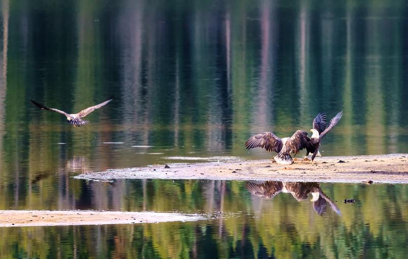 lone-eagle-11-6-16-.jpg