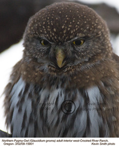 NorthernPygmyOwl15801.jpg