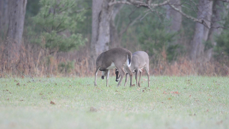 Whitetail_spar_8457_1_is_24.mov