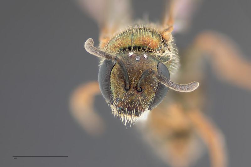 Homalictus tuiwawae Female