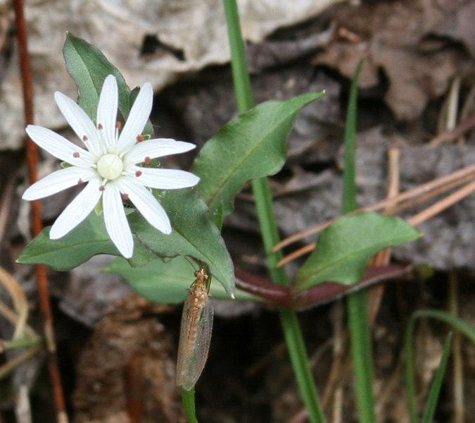 Stellaria pubera with mayfly2.jpg