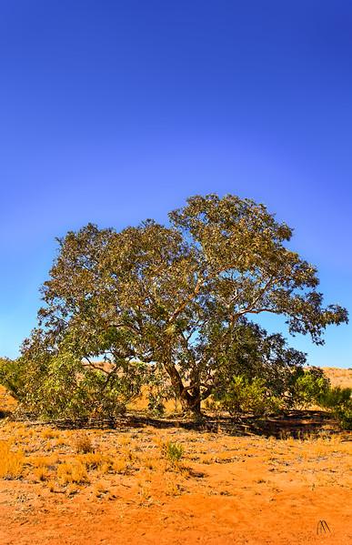 The Lone Gum Tree