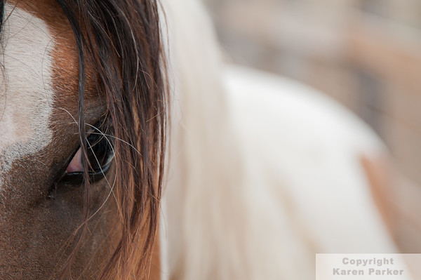 Rare Choctaws at the Black Hills Wild Horse Sanctuary - 2012 to Current