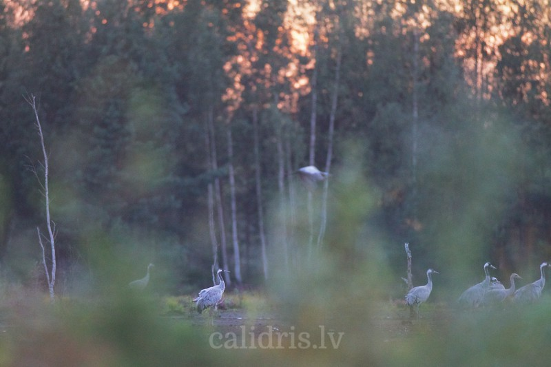 Common Cranes in night roost