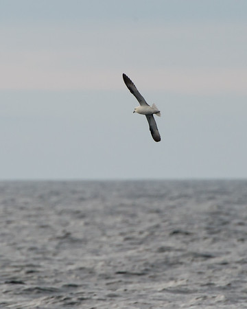 Albatrosses, Petrels, & Shearwaters