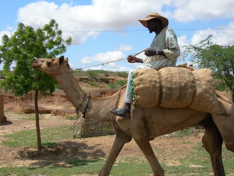 camel2-434271725-O.jpg
