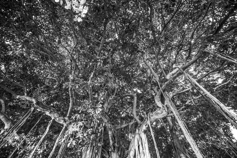 Banyan Tree 38
