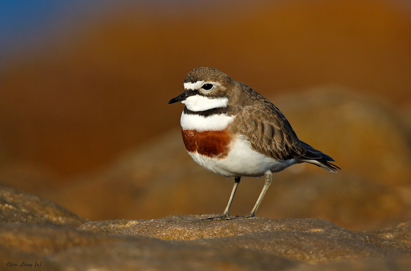 Double-banded Plover 3.jpg