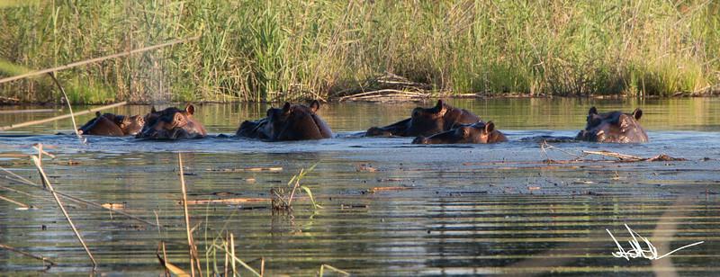 Hippos S-10.jpg