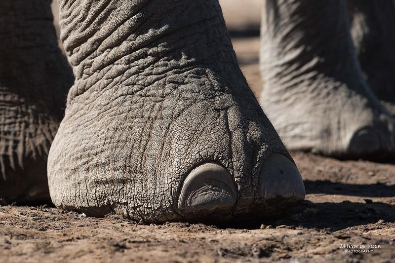 African Elephant, Mashatu GR, Botswana, May 2017-50.jpg