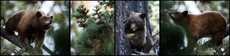 Black bear cub and pinecones