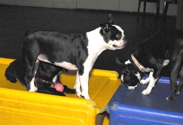 new Boston Terrier Meet up