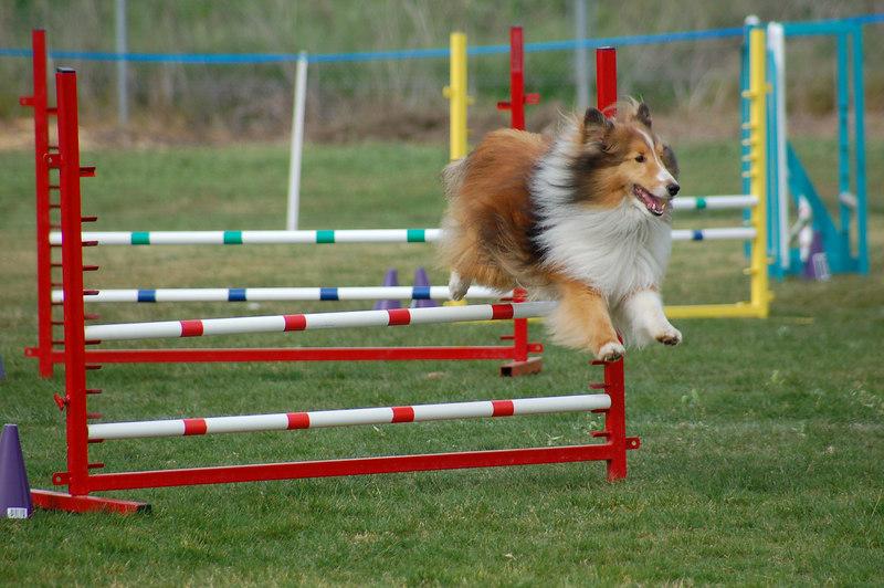 Sable sheltie jumps