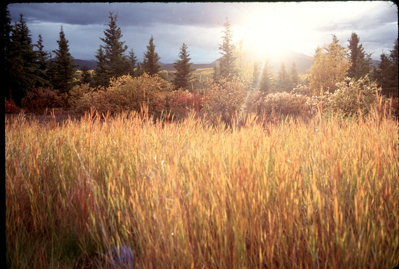 Canada - Alaskan Hwy Grass.jpg