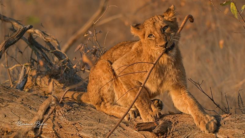 Lion 3.jpg